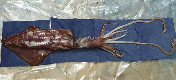 11.squid